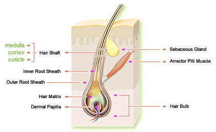 Diagram of Hair Follicle